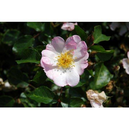Summerrose