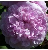 The Cook's Rose (Kale wortel)