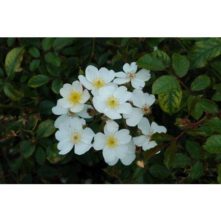 White Fleurette