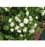 White Grootendorst (Kale wortel)
