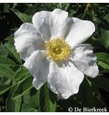 White Hedge