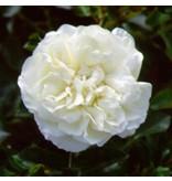 White Meidiland (MEIcoublan)