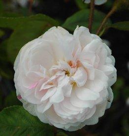 White Moss