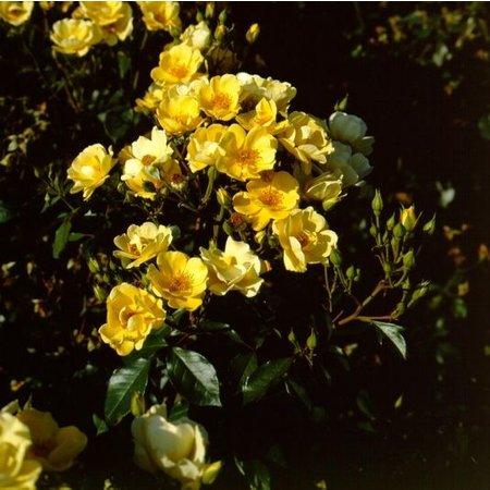 Yellow Fleurette