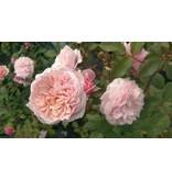Antique Rose (kale wortel)