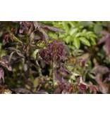 Burgundy Rambler (Kale wortel)