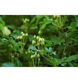 banksiae lutea (Kale wortel)
