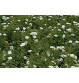 White Cover (Kale wortel)