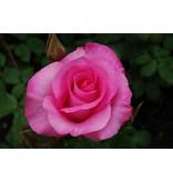 The McCartney Rose (kale wortel)