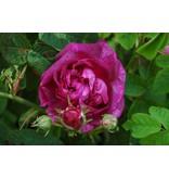 Rose du Maïtre d'école