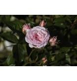 Pink Medallion (kale wortel)