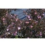 rubrifolia (Glauca)