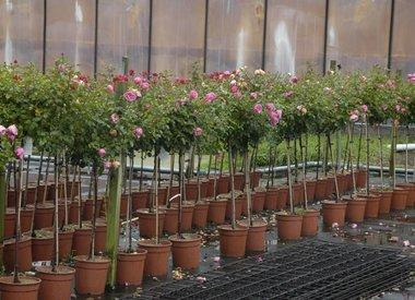 Stamrozen in pot (leverbaar in de zomer)