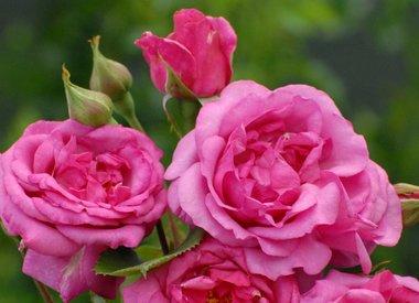 Speciale rozen