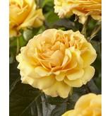 Amber Queen op stam in pot 80-90 cm.