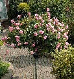 Bonica op stam in pot 100-120 cm.