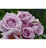 Aanbieding 1 Pakket met 5 sterk geurende rozen (Kale wortel)