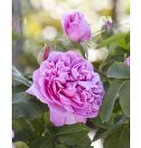 Aanbieding 3 Pakket met 5 historische rozen (Kale wortel)