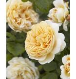 Crown Princess Margareta op stam 110 cm. (kale wortel)