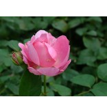 Mary Rose op stam 100-120 cm (kale wortel)