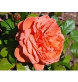 Summer Song  op stam 100-120 cm (kale wortel)