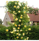 The Pilgrim op stam 110 cm (kale wortel)