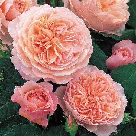William Morris op stam 100-120 cm (kale wortel)