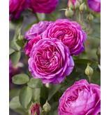 Heidi Klum Rose op stam 100-120 cm (kale wortel)