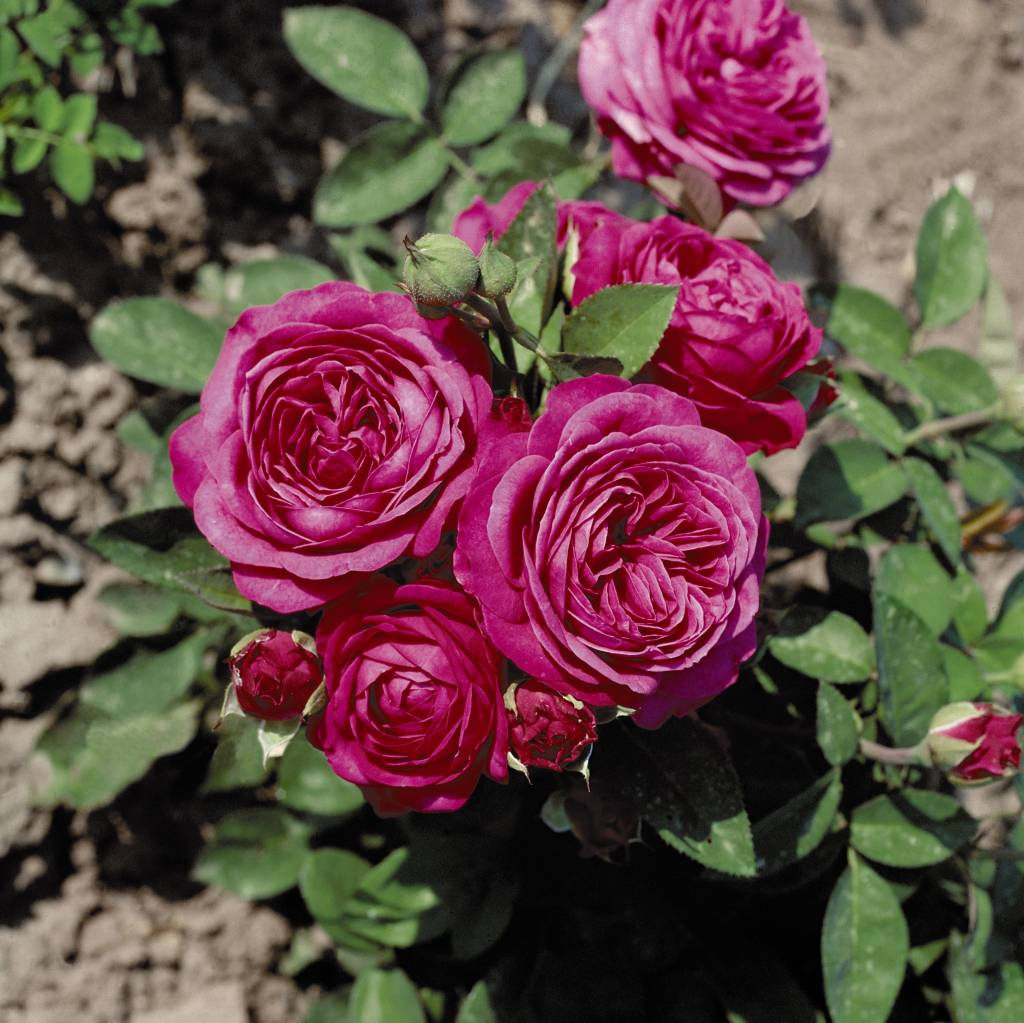 heidi klum rose kale wortel belle epoque. Black Bedroom Furniture Sets. Home Design Ideas