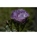 Blue for You op stam 100-120 cm (kale wortel)