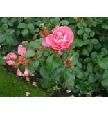 Play Rose op stam 90-100 cm (kale wortel)