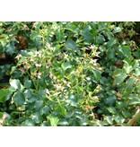 Heidetraum op stam 60 cm. (kale wortel)