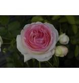 Eden Rose op stam 140-160 cm (kale wortel)