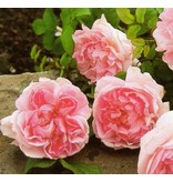 Cottage Rose  (in pot 4 liter)