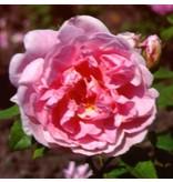 Cottage Rose  (in pot 4 liter)