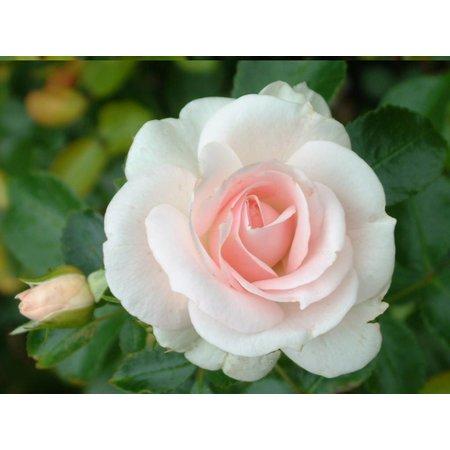 Aspirin Rose ( in pot 4 liter)
