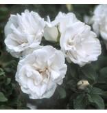 Blanc Double de Coubert (in pot 4 liter)