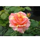 Claude Monet (in pot 4 liter)