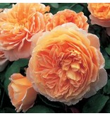 Crown Princess Margareta (in pot 4 liter)
