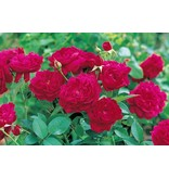 Darcey Bussell  (in pot 4 liter)
