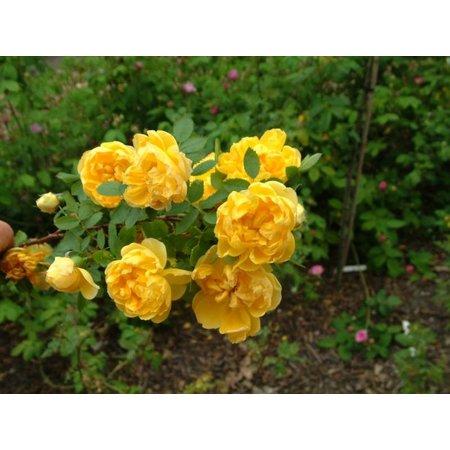 foetida Persian Yellow (in pot 4 liter)