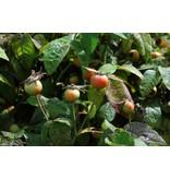 gallica 'Officinalis' (in pot 4 liter)