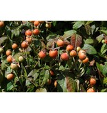 gallica 'Versicolor' (in pot 4 liter)