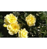 Gelbe Dagmar Hastrup (in pot 4 liter)