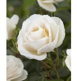 Lions Rose (in pot 4 liter)