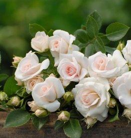 Aspirin Rose op stam 100-120 cm (kale wortel)