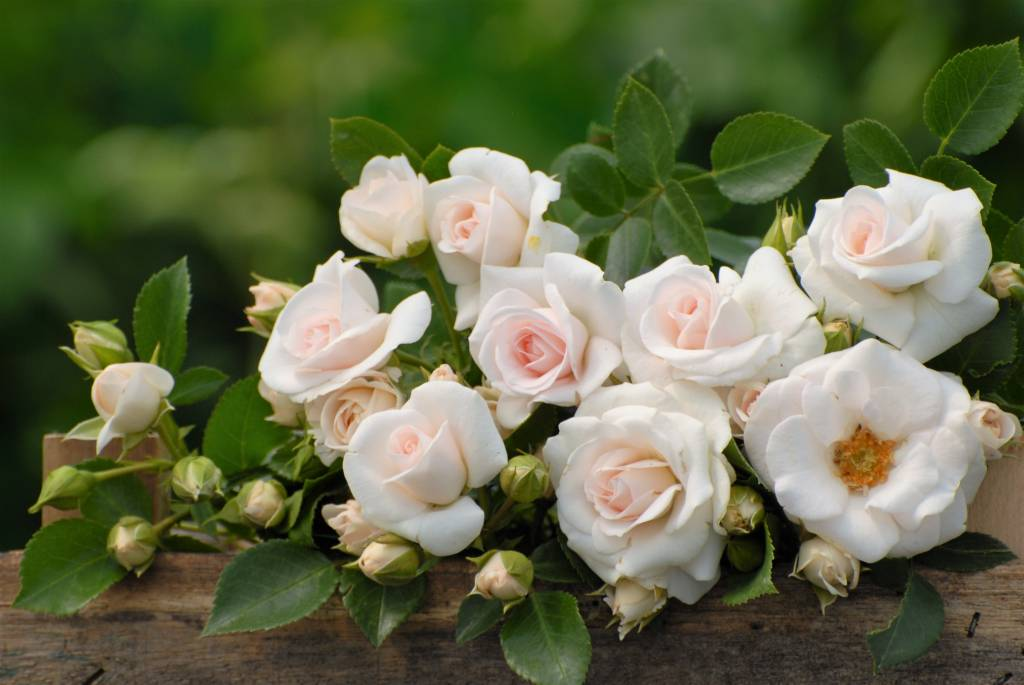 aspirin rose belle epoque rozenkwekerijen ouderwetse. Black Bedroom Furniture Sets. Home Design Ideas