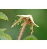centifolia Muscosa (in pot 4 liter)