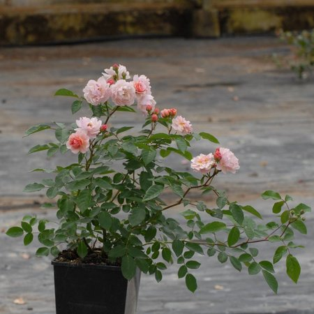 Cornelia (in pot 4 liter)