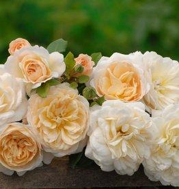 Crocus Rose (in pot 4 liter)